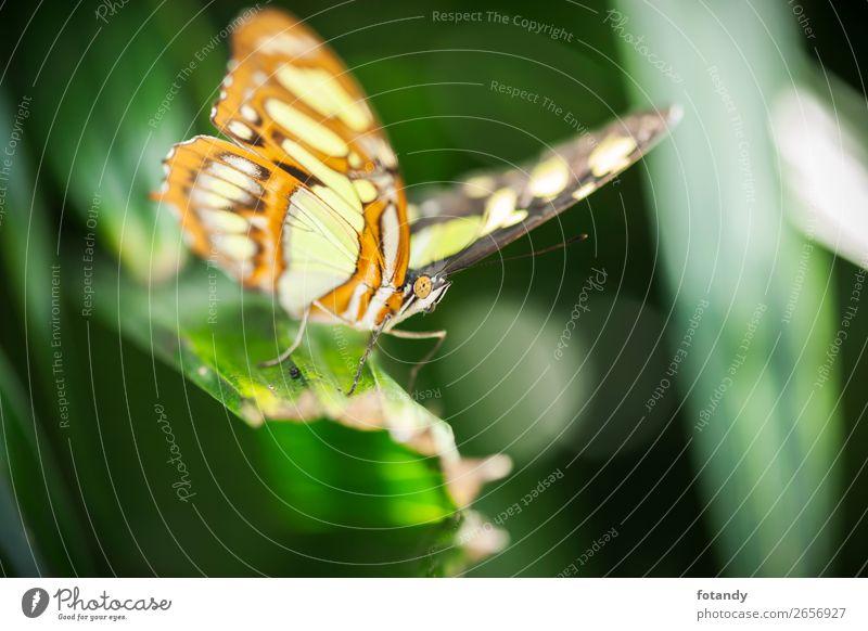 Siproeta stelenes_Front side view_Malachitfalter Natur Tier Wildtier Schmetterling Flügel 1 elegant nah natürlich mehrfarbig gelb grün frontal Insekt Edelfalter