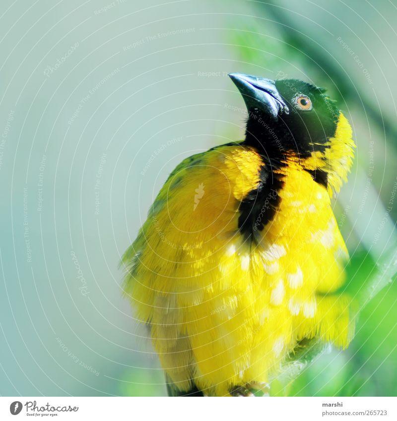 gelb gefiedert Vogel Flügel Feder Zoo exotisch Schnabel