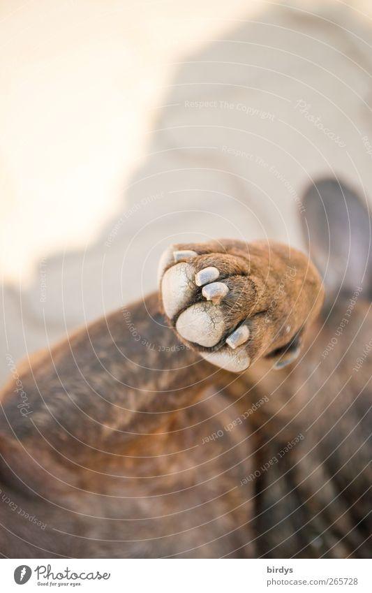 high five Hund Tier Beine Freundschaft hell Zufriedenheit liegen außergewöhnlich Fell Vertrauen genießen Haustier Pfote Sympathie Tierliebe Bulldogge
