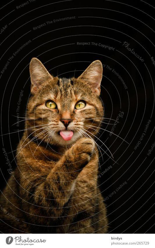 animal dialog Katze schön rot Tier schwarz gelb braun außergewöhnlich Kraft elegant ästhetisch beobachten Tiergesicht zeigen Haustier Körperpflege