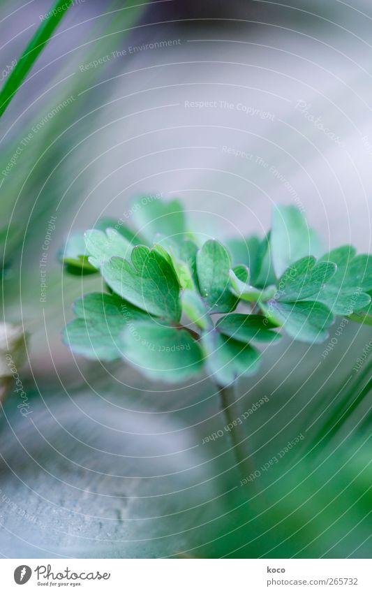 Das Blatt von Aquilegia Natur grün schön Pflanze Sommer schwarz Umwelt Gras Frühling Bewegung grau Stein Wind frisch Wachstum