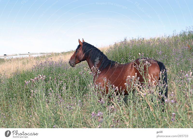 brown horse on a meadow Natur Pflanze Sommer Blume Tier Landschaft Wiese Freiheit Blüte braun Fotografie Pferd Rasen Idylle Weide Landwirtschaft
