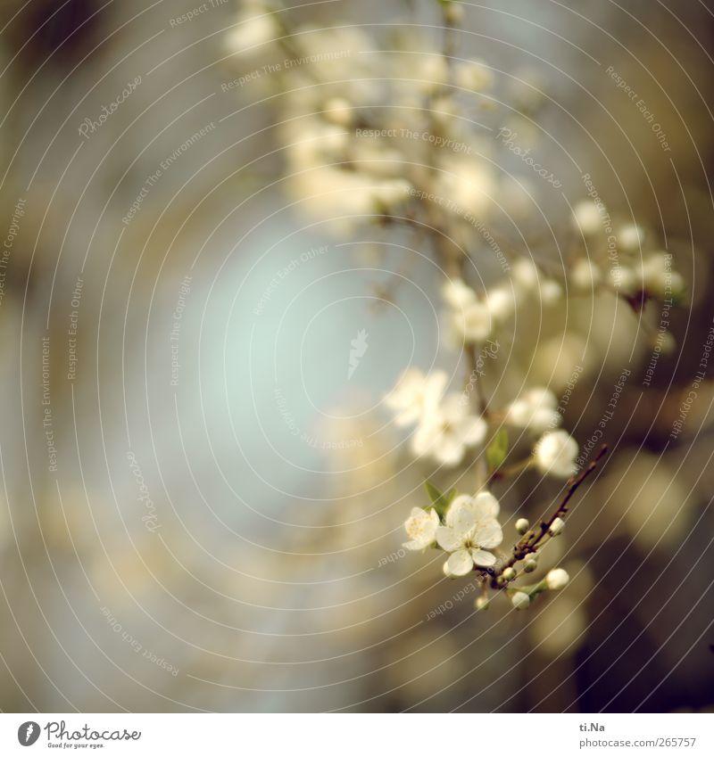Himmlisches Fest Umwelt Natur Pflanze Tier Frühling Baum Sträucher Blüte Wildpflanze Pflaumenbaum Garten Blühend Duft hell schön blau weiß Farbfoto