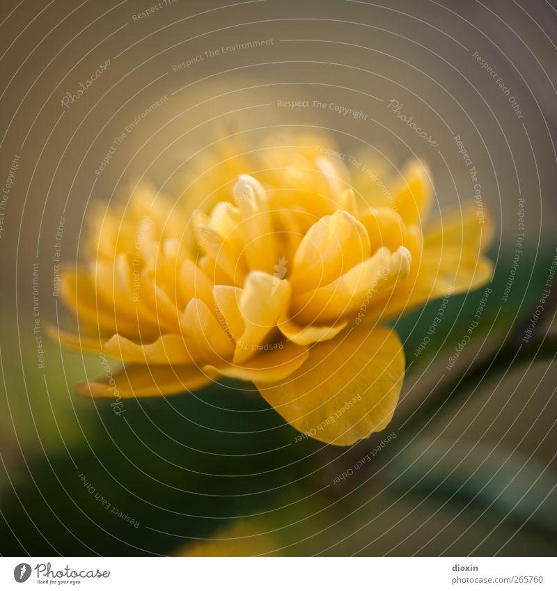 Frohe Ostern, Helmut! Umwelt Natur Pflanze Blume Sträucher Blüte Wildpflanze Garten Park Blühend Wachstum Duft schön natürlich positiv gelb Frühlingsgefühle