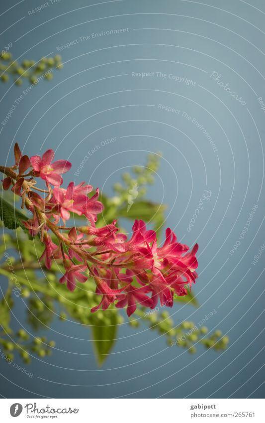 King Edward VII Natur blau Pflanze grün Sonne Blume Freude Umwelt Frühling natürlich rosa Idylle Sträucher Fröhlichkeit ästhetisch Lebensfreude