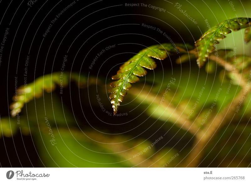 farn Natur Pflanze Frühling Sommer Gras Sträucher Farn Blatt Grünpflanze Wildpflanze Topfpflanze Garten Wiese Wachstum ästhetisch glänzend schön klein nah
