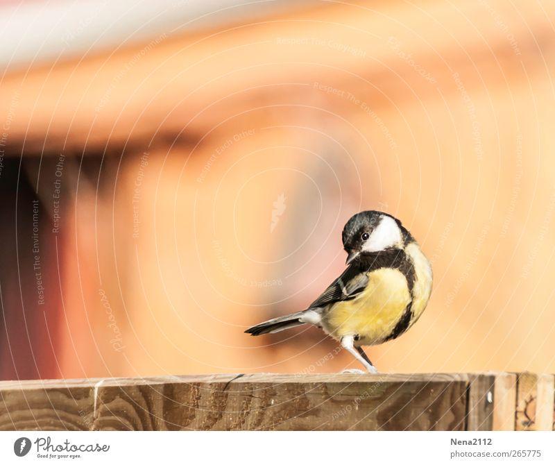 Germanys next topmeise Natur Tier Luft Garten Vogel Flügel 1 klein gelb Singvögel Meisen Kohlmeise schwarzkopfmeise Fröhlichkeit singen Farbfoto mehrfarbig