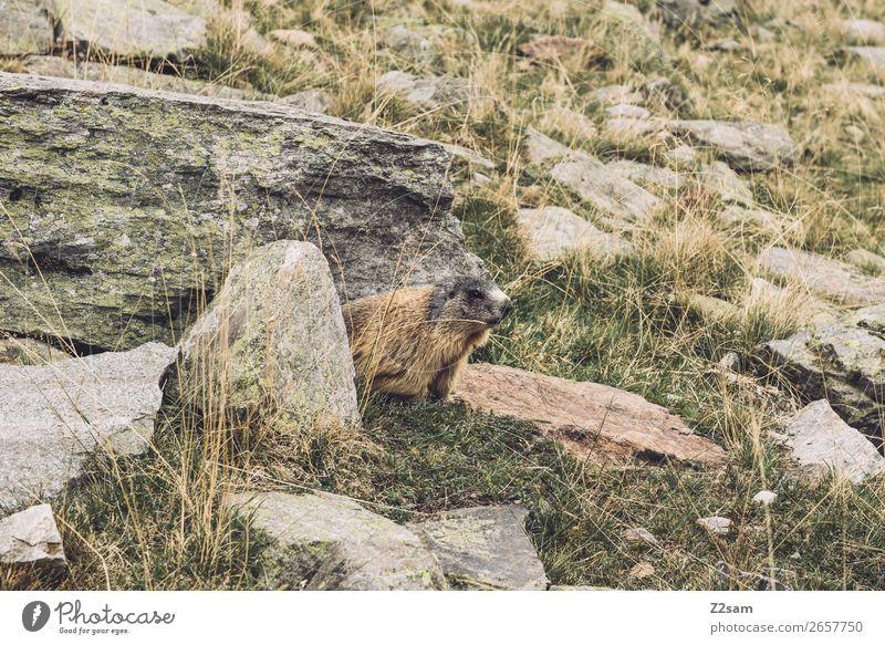 Murmeltier | Timmelsjoch | E5 Abenteuer wandern Natur Landschaft Herbst Schönes Wetter Sträucher Felsen Alpen Berge u. Gebirge Tier beobachten entdecken