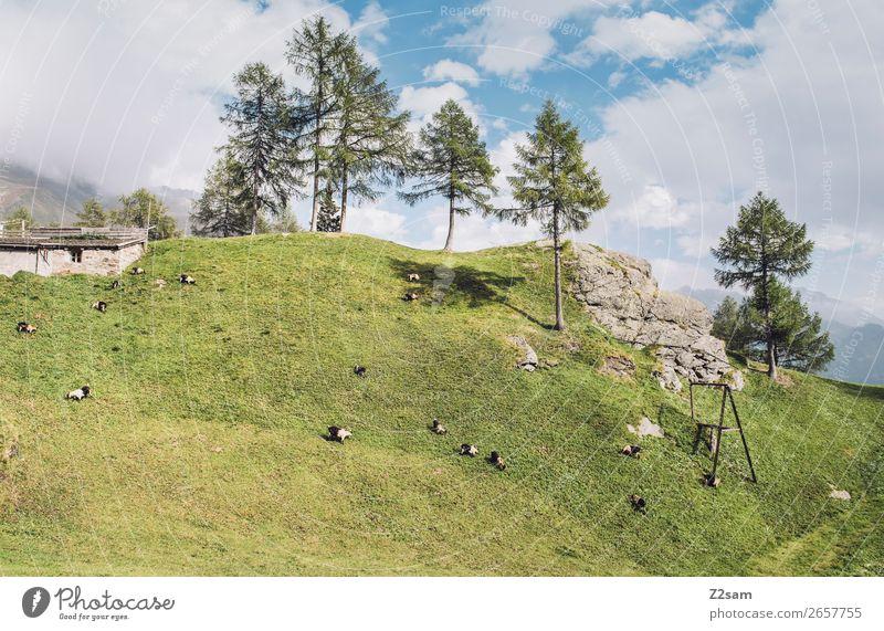 Schafweide | Timmelsjoch, Südtirol Natur Farbe grün Landschaft Sonne Baum Erholung Wald Berge u. Gebirge Herbst natürlich wandern frisch Idylle stehen Abenteuer