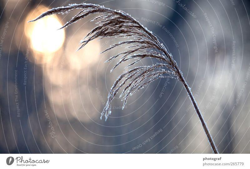 Winter Raureif Eiskristall Schneekristall Pflanze Vor hellem Hintergrund Freisteller kalt Frost