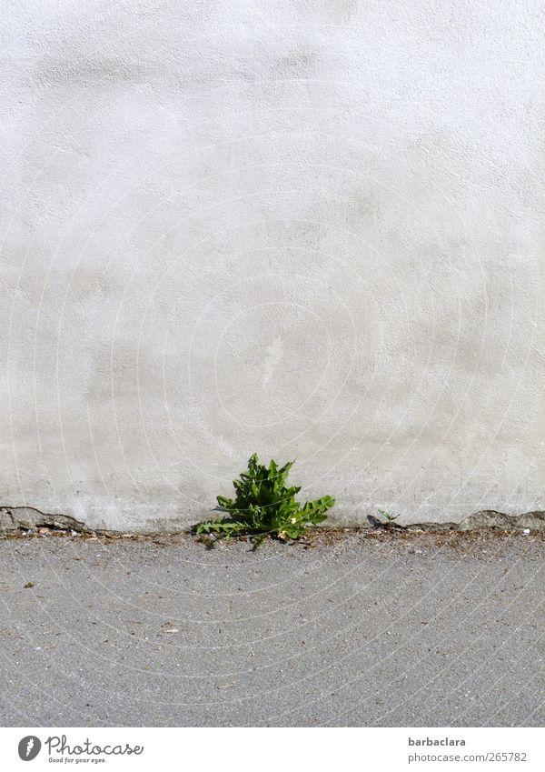 Grün ist die Hoffnung Pflanze Blatt Wildpflanze Löwenzahn Bauwerk Mauer Wand Straße Wegrand Stein Beton Wachstum frisch klein natürlich grau grün