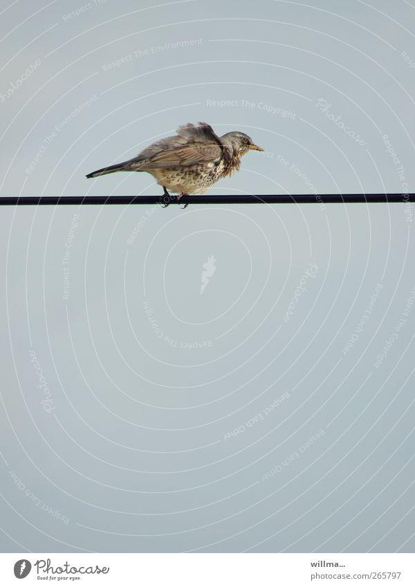 Wacholderdrossel unter Strom Wind Sturm Leitung Kabel Vogel Drossel festhalten Höhenangst Flugangst Windböe Hochspannungsleitung hoch schwindelig schwindelfrei