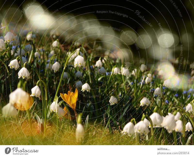 Märzenbecherwiese Frühling Schönes Wetter Krokusse Garten Wiese gelb grün weiß Frühlingsgefühle Blühende Landschaften Menschenleer Natur Frühjahrsblüher