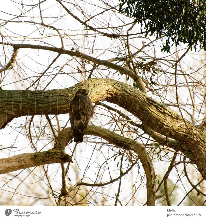 Suchbild Umwelt Natur Tier Frühling Herbst Winter Pflanze Baum Ast Baumstamm Mistel Wildtier Vogel Bussard Mäusebussard Greifvogel 1 hocken Blick sitzen frei