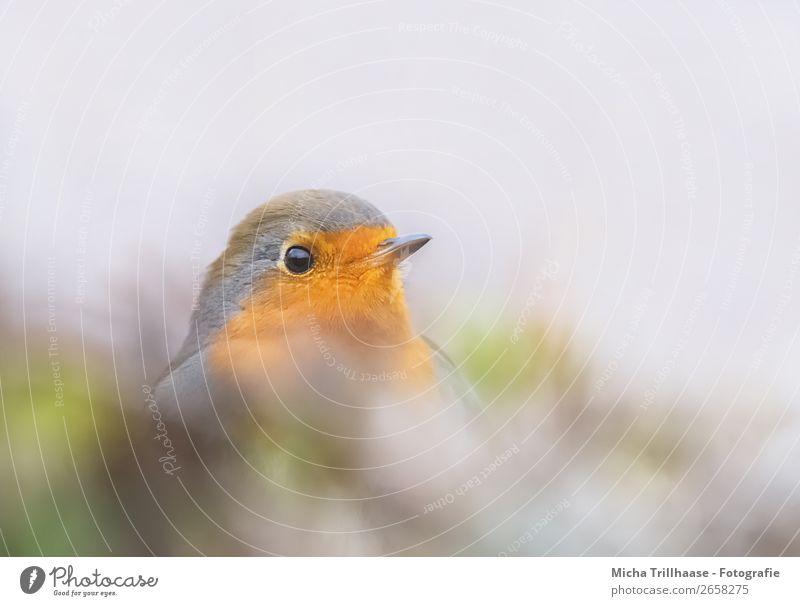 Neugieriges Rotkehlchen Natur grün Tier gelb Umwelt Auge orange Vogel grau leuchten Wildtier Fröhlichkeit Feder Sträucher Schönes Wetter niedlich
