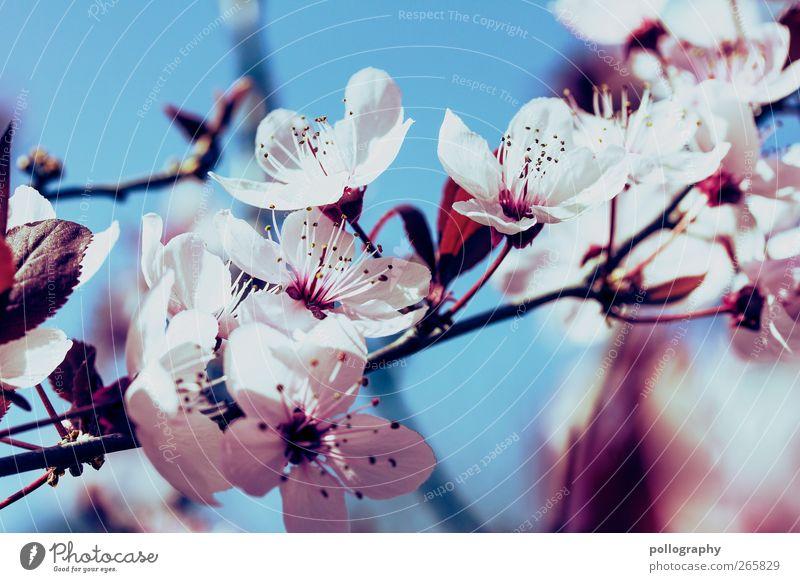 Frühlingspracht Natur Pflanze Luft Wolkenloser Himmel Schönes Wetter Blume Sträucher Blatt Blüte Kirschblüten Kirschbaum blau rot weiß Beginn Duft Idylle
