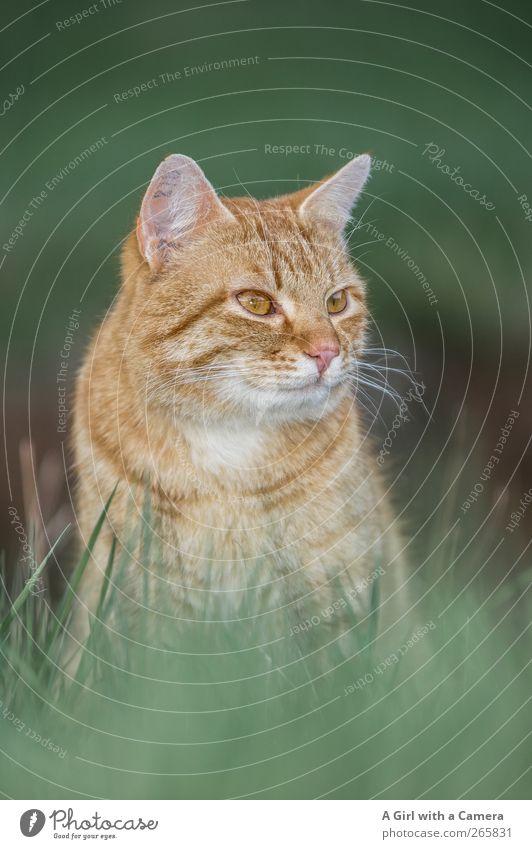 ja genau Tier Haustier Katze 1 beobachten Blick Coolness schön rot gestreift rote Katze Schnurrhaar Farbfoto Außenaufnahme Nahaufnahme Detailaufnahme