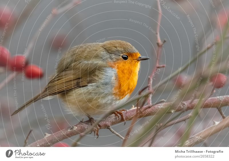 Rundes Rotkehlchen Natur grün rot Erholung Tier gelb Auge orange Vogel leuchten Wildtier Feder Sträucher Schönes Wetter Flügel niedlich