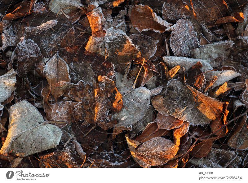 Frozen ruhig Meditation Umwelt Natur Pflanze Erde Herbst Winter Klima Eis Frost Blatt Herbstlaub herbstlich Herbstfärbung Garten Park alt frieren glänzend