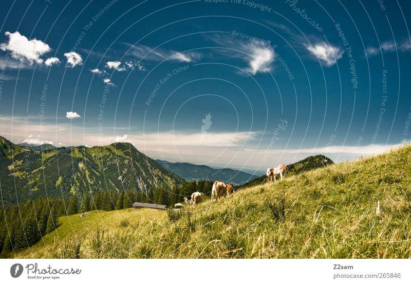 heimat Ferien & Urlaub & Reisen Ausflug Berge u. Gebirge wandern Umwelt Natur Landschaft Wolkenloser Himmel Sommer Schönes Wetter Wiese Gipfel Kuh Herde
