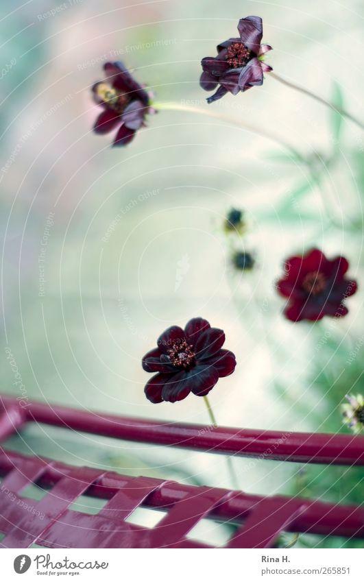 Sommer ! (Schokoladenblümchen II ) Natur Pflanze Blume Blühend einfach schön natürlich positiv rot Lebensfreude ruhig Schokoladenblume Gartenstuhl frech