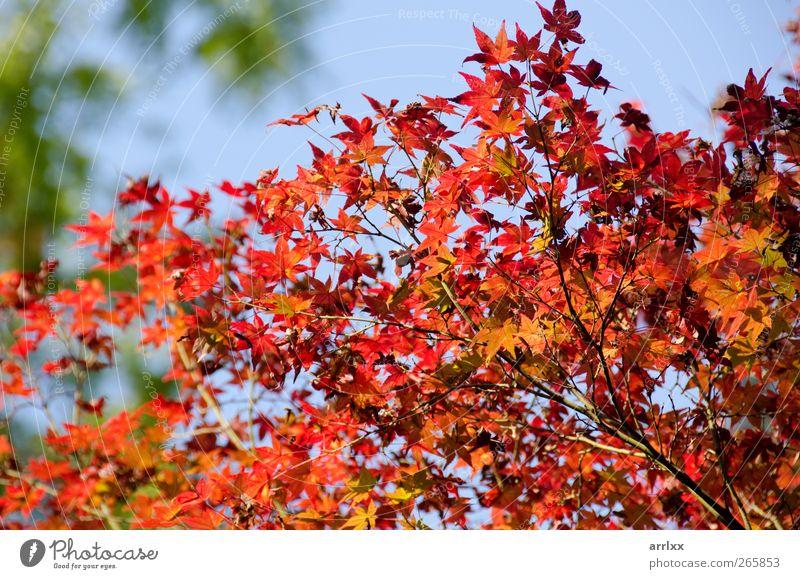 Himmel Natur blau Baum Pflanze rot Freude Blatt ruhig Umwelt gelb Herbst Leben Glück gold natürlich