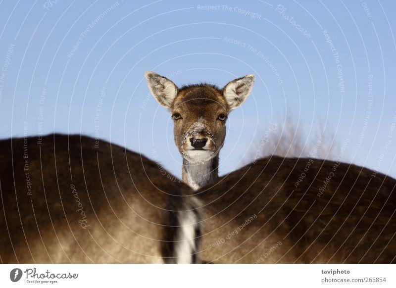 Damhirsch Baby Jagd Safari Winter Schnee Natur Tier Luft Himmel Wolkenloser Himmel Eis Frost Pelzmantel Wildtier Tiergesicht 1 Herde Tierjunges Tierfamilie