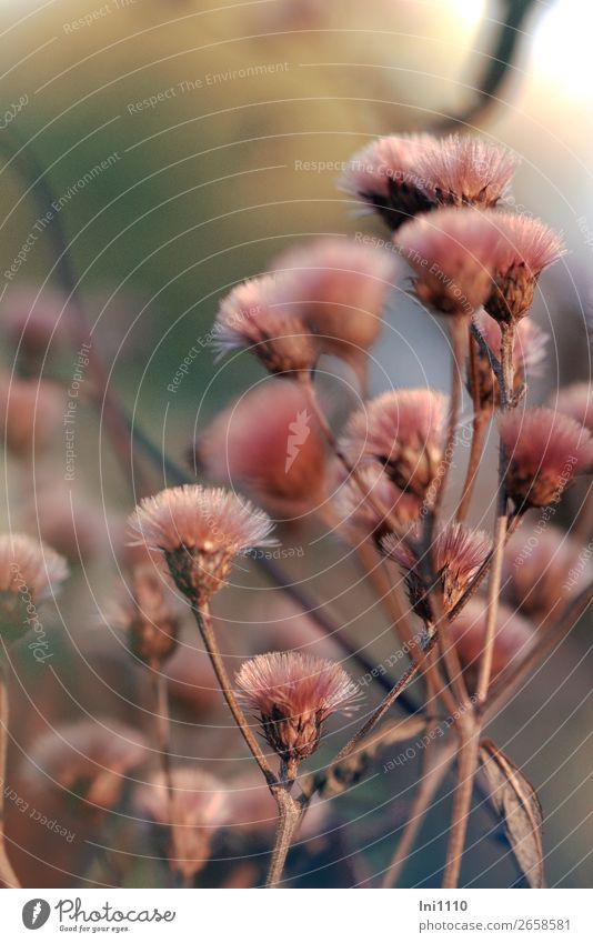 Aster Pflanze Herbst Schönes Wetter Blume Blatt Blüte Garten Park braun rosa rot weiß Samen Stauden Pinsel Herbstfärbung zart Schmuck Astern Ton-in-Ton Farbfoto