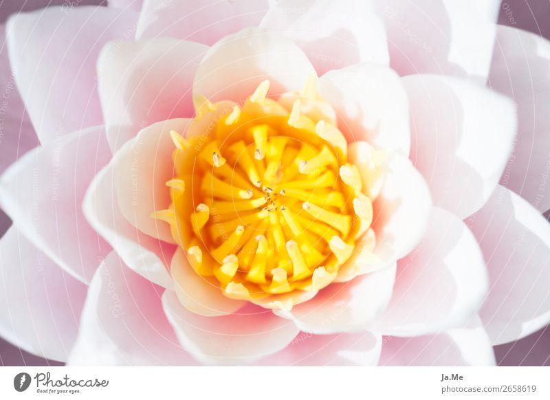 Im Namen der Seerose Natur Pflanze Frühling Sommer Blume Rose Blüte Seerosen Wasserpflanze Garten Park Teich Duft elegant exotisch schön gelb rosa weiß