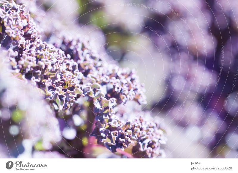 Lila Grünkohl im Sonnenschein Natur Pflanze Sommer Grünpflanze Nutzpflanze Kohl Grünkohlblatt Gemüse Garten Feld frisch Gesundheit grün violett Genusssucht