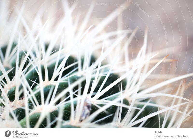 Haarige Kakteen Umwelt Natur Pflanze Sommer Wärme Dürre Kaktus Grünpflanze Topfpflanze exotisch Kakteenstacheln Stachel Garten Park Wüste Oase stachelig braun