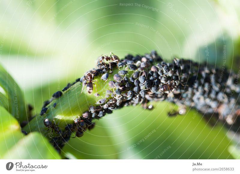 Das Buffet ist eröffnet Natur Pflanze grün Tier Blatt schwarz Wiese Gras Garten braun wild Park Wildtier Tiergruppe Insekt Jagd