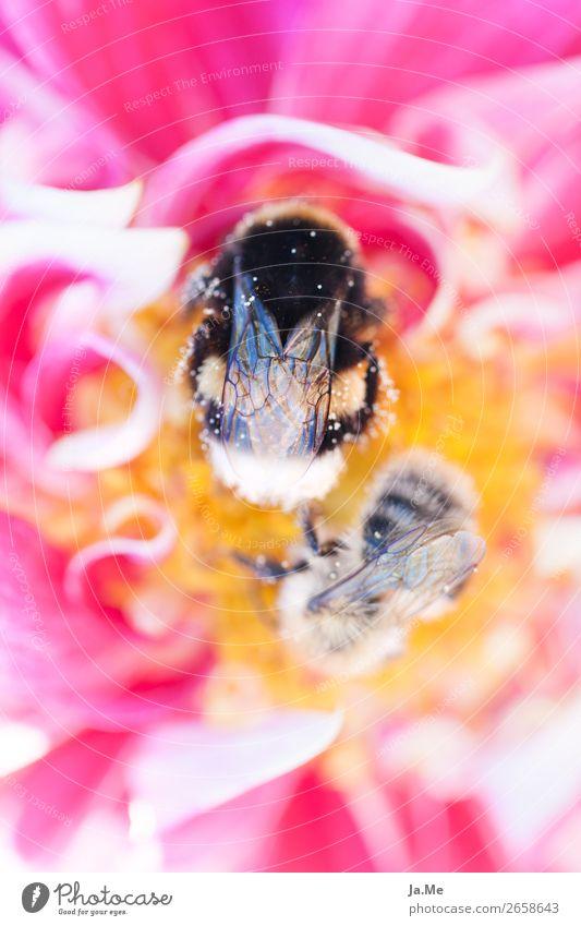 Pause an der Pollenbar Umwelt Natur Pflanze Tier Frühling Blume Rose Blüte Nutzpflanze Nektar Honig Garten Park Wiese Feld Wildtier Biene Flügel Hummel Insekt