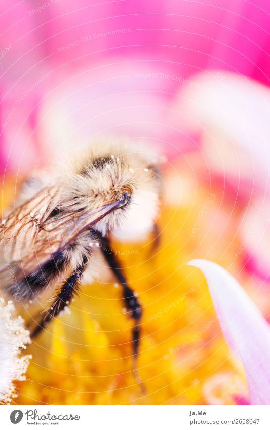 Honigbiene sammelt Nektar Natur Sommer Pflanze Blume Tier gelb Blüte Frühling Wiese Garten rosa Arbeit & Erwerbstätigkeit Park Wildtier Flügel Rose