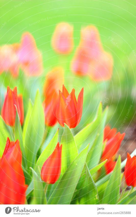 frühlingsgrüße Natur Pflanze Frühling Blume Blüte Grünpflanze Garten Duft frisch glänzend schön natürlich grün rot Lebensfreude Gelassenheit ruhig Farbe Tulpe