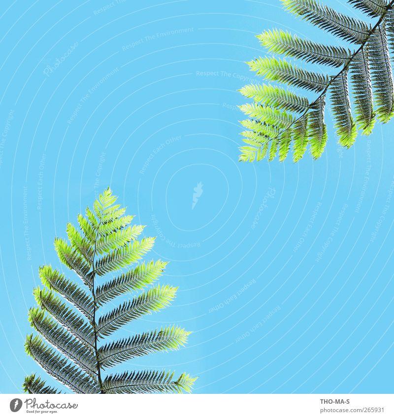 Dream Team Natur Pflanze Luft Himmel Schönes Wetter Farn Grünpflanze Fern Urwald hängen Wachstum einzigartig nachhaltig natürlich schön wild blau grün