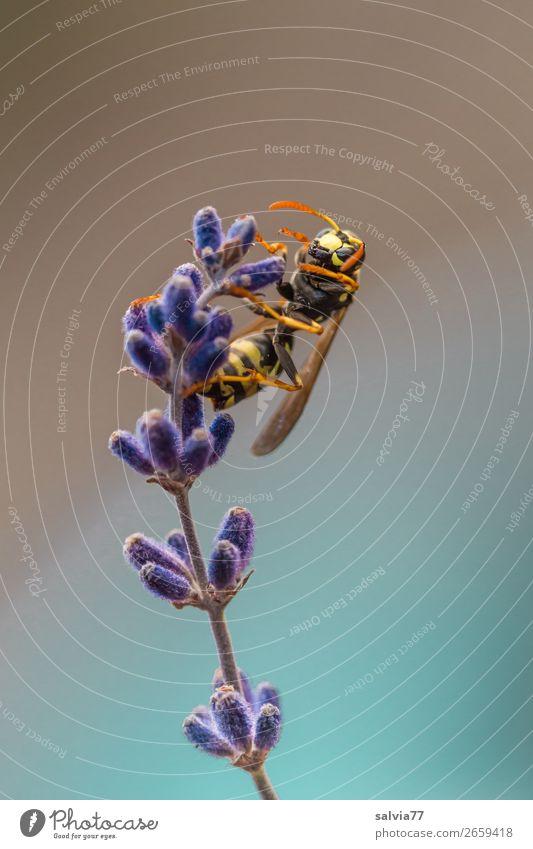 Feldwespe Umwelt Natur Pflanze Tier Sommer Blume Blüte Lavendel Tiergesicht Flügel Wespen Insekt 1 krabbeln Duft Farbfoto Außenaufnahme Makroaufnahme