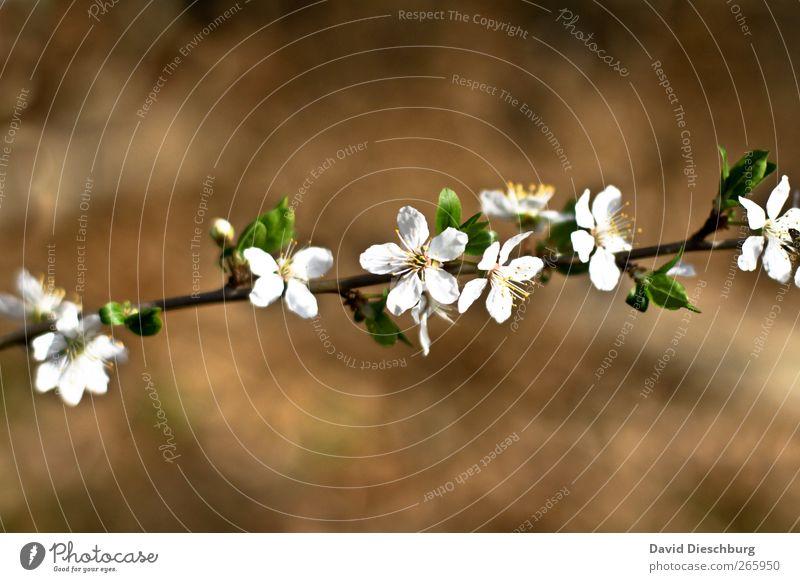 Endlich Frühling Natur Pflanze Blume Blüte braun weiß Ast Blühend Frühlingsblume Frühlingstag Blütenblatt diagonal Wachstum Duft schön Farbfoto Außenaufnahme