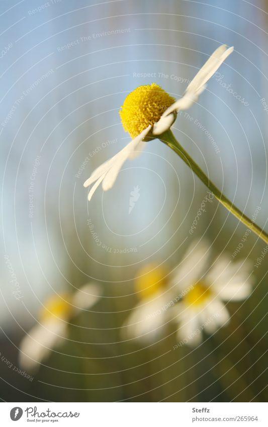 der Sonne entgegen.. Natur Pflanze Sommer gelb Blüte natürlich Blühend einfach Kräuter & Gewürze Wohlgefühl Duft Blütenblatt Nutzpflanze hell-blau Frühlingsgefühle Heilpflanzen