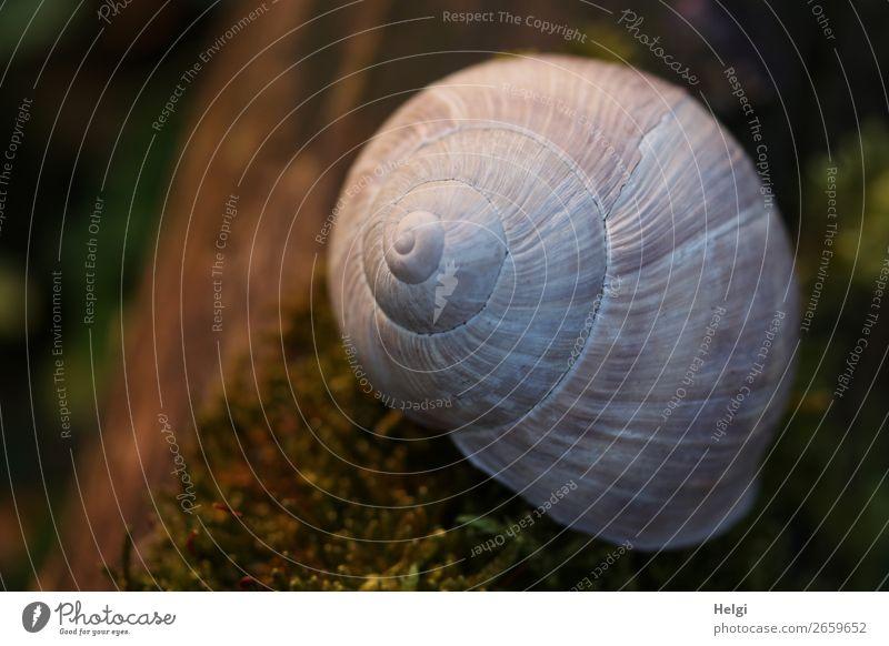 Schneckenhaus einer Weinbergschnecke liegt im Abendlicht auf  Moos Umwelt Natur Pflanze Tier Frühling Schönes Wetter Baumstamm Wald Weinbergschneckenhaus 1