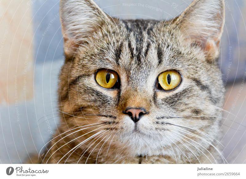 Katzenportrait mit gelben Augen Tier Oberlippenbart Haustier Tiergesicht 1 Tierjunges Streifen grau Säugetier Backenbart Koteletten Farbfoto