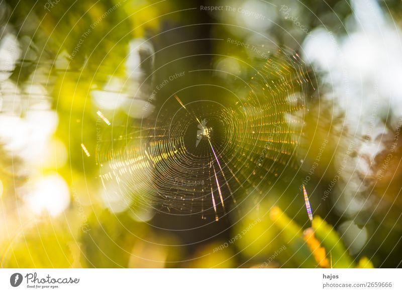 Spinnennetz im Herbst im Gegenlicht Natur grün Tier gelb Idylle