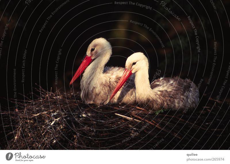 zweisam Natur Tier Vogel Storch Storchschnabel 2 Tierpaar sitzen Zusammensein kuschlig rot schwarz weiß Glück Sicherheit Geborgenheit Sympathie Freundschaft
