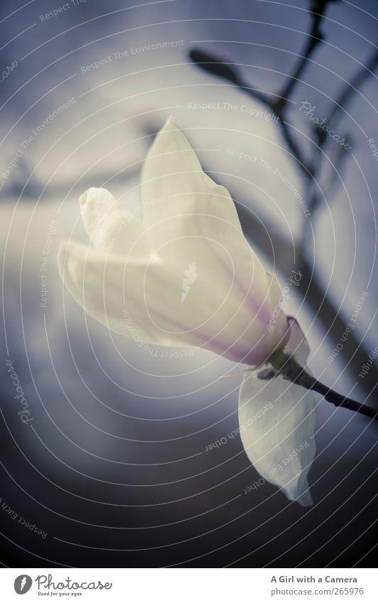 magnolia Umwelt Natur Pflanze Sonnenaufgang Sonnenuntergang Frühling Blume Sträucher Blüte Magnoliengewächse Garten Blühend Wachstum blau weiß Gedeckte Farben