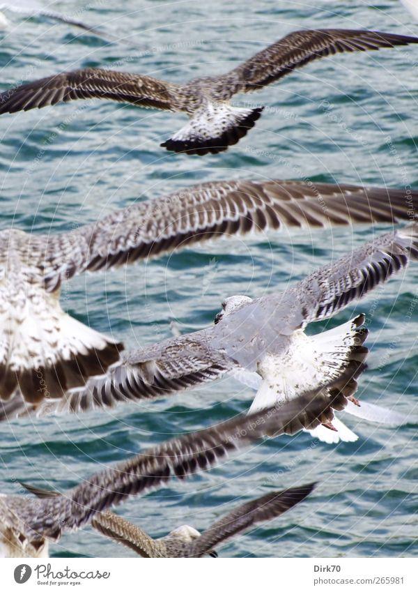 Feierabendflugverkehr blau Wasser weiß Meer Tier Tierjunges grau fliegen braun Vogel Wellen Wildtier Wind Feder Flügel Tiergruppe