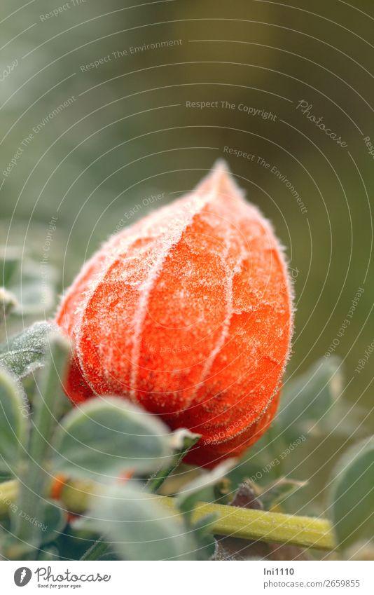 Physalis Pflanze Herbst Eis Frost Garten Park gelb grau grün orange weiß Lampionblume Raureif Herbstfärbung leuchten Zierpflanze Farbfoto mehrfarbig