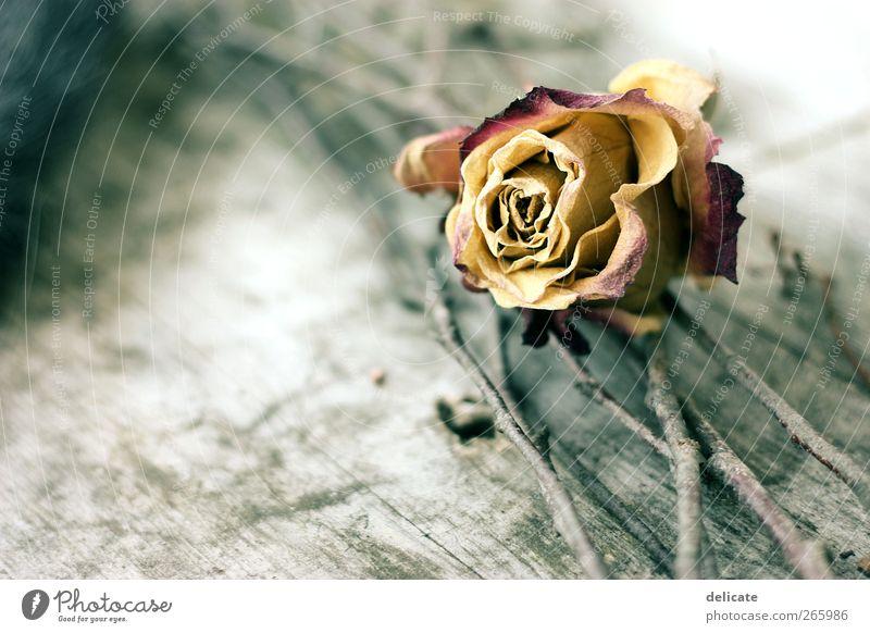 Old Rose Umwelt Natur Pflanze Blüte alt Garten alte Rose vertrocknet getrocknet Holz Holzunterlage Holztisch Holzbrett Ast fein gelb dunkelrot zart zerbrechlich