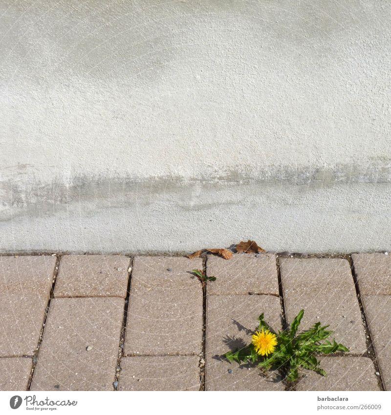 Kleiner Kraftprotz Umwelt Pflanze Blatt Blüte Löwenzahn Mauer Wand Straße Bürgersteig Stein Beton Blühend Wachstum frisch schön gelb grün Frühlingsgefühle