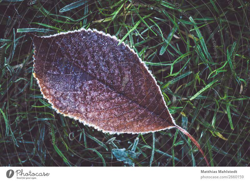 Frostig Umwelt Natur Pflanze Eis Blatt liegen verblüht alt braun grün Verfall Vergänglichkeit Farbfoto Gedeckte Farben Außenaufnahme Nahaufnahme Menschenleer