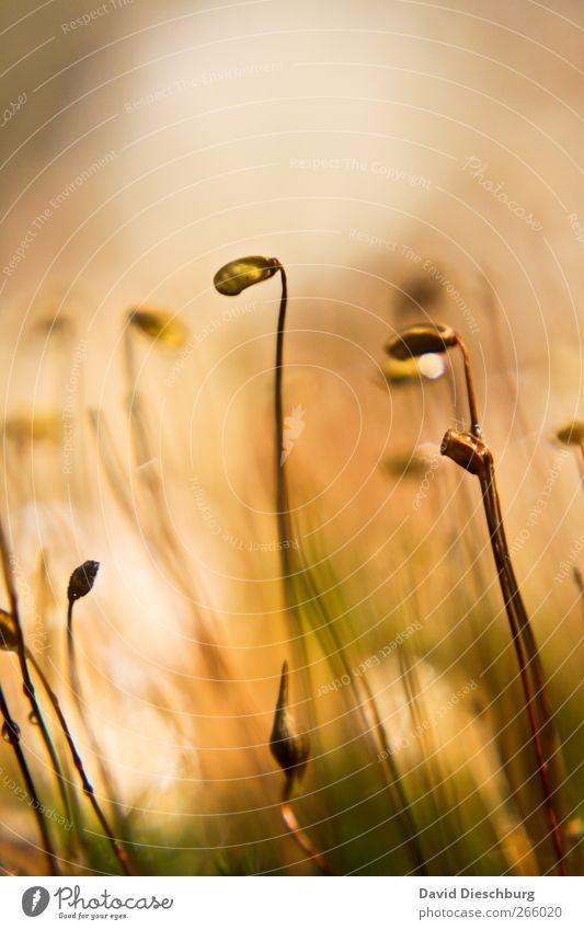 Kopf hängen lassen Natur Pflanze Frühling Moos Grünpflanze braun Stengel Farbfoto Außenaufnahme Nahaufnahme Detailaufnahme Makroaufnahme Strukturen & Formen